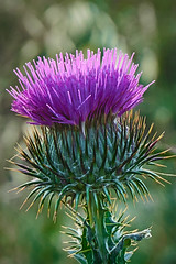 Thistle (RobMacPhotography) Tags: canberra act australia thistle purple mt arawang wildflower flower prickly rob mac photography sony a6000 spring summer