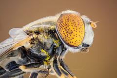 Pollens (zgrkrmblr) Tags: macro macrophotography bug focusstack sony a7 newport433 manfrotto410 manfrotto357 berlebach tripod sunwayfoto arthropoda insect böcek makro sinek studiostack pointedeyehoverfly eristalinusaeneus diptera pollen canonmacrophotolens35mmf28 nikonpb6bellows