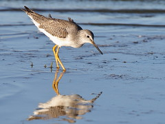 Greater Yellowlegs (Tringa melanoleuca) (sp. # 124) (SharifUddin59) Tags: greateryellowlegs yellowlegs tringamelanoleuca wader shorebird donedwardsnwr sanjose california migratorybird