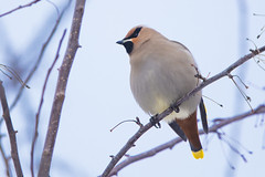 Bohemian Waxwing (Peter Stahl Photography) Tags: bohemianwaxwing winter snow islelake outside bird migrant flocks