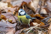 Blue Tit Amongst the Leaves (queeny63) Tags: elements