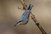 _F0A8430.jpg (Kico Lopez) Tags: galicia lugo miño sittaeuropaea spain trepadorazul aves birds rio