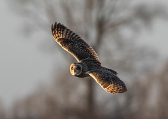 short eared owl (colin 1957) Tags: seo shortearedowl owl flight burwell