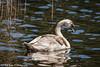 20160505-3492-Zwaan (Rob_Boon) Tags: belgie connecterra vogel zwaan robboon maasmechelen belgium bird