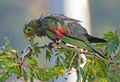 Cooling off (christinaportphotography) Tags: redwingedparrot aprosmictuserythropterus parrot pinecreek nt northernterritory australia bird birds wild free hot weather swimming shower sprinkler fun wet ngc