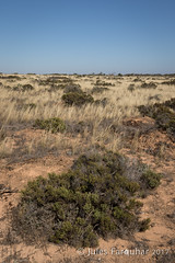 Nullarbor Plain (Jules Farquhar.) Tags: southaustralia nullarbor plain treeless arid shrub landscape australianlandscapes outback julesfarquhar