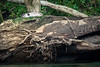 Lounging Around (jeff_a_goldberg) Tags: sarapiquiriver riverotter naturalhabitatadventures nathab winter costarica heredia cr