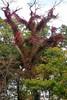 virginia creeper (ophis) Tags: vitales vitaceae parthenocissus parthenocissusquinquefolia virginiacreeper fallcolor