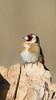 Chardonneret élégant Carduelis carduelis - European Goldfinch (Julien Ruiz) Tags: chardonneret élégant carduelis european goldfinch