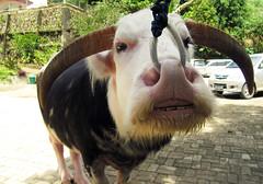 Bufalo albino (Sacule) Tags: animism buffalo tanatoraja funeral sulawesi rantepao albino indonesia christian death canon powershot sx200is 2011 asia travel southeastasia viaje backpack animal mammal
