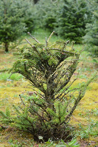 Gout disease on Fraser fir