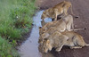 IMGP9792b (Micano2008) Tags: kenia africa pentax parquenacional masaimara mamifero leon pantheraleonubica