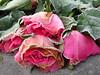 Verwelkt (Merodema) Tags: frosty rijp korstje beijsd icy koud cold bloemen roses rozen drie bevroren frozen winter roze pink flower