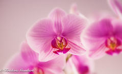 Pink Sunday light of Winter (frederic.gombert) Tags: orchid orchidee light pink red yellow sun sunlight proxi macro nikon d810 flower indoor flowers bloom bunch plant garden