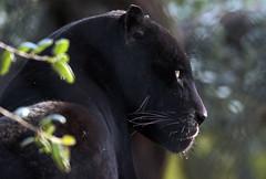 jaguar mowgli artis JN6A3893 (j.a.kok) Tags: mowgli jaguar pantheraonca zuidamerika southamerica mammal zoogdier predator kat cat