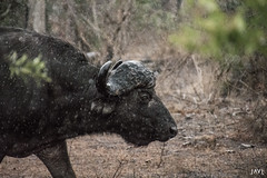 Búfalo bajo la lluvia (JaviJ.com) Tags: park rain animal fauna africa big national 5 south kruger five los cinco bufalo cuernos sudafrica buffalo grandes javij