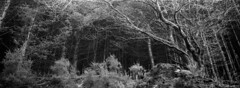 Treesome (Vincent Moschetti) Tags: film analog argentique camera hasselblad xpan nature noir blanc stand development foma fomapan 400 ireland cork tracton woods forest irlande