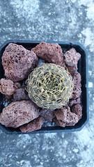 Sulcorebutia candiae. Enero 2017 (garconwii) Tags: sulcorebutia plant cactus