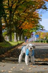 お散歩 (photojiro) Tags: 10月 fujifilmxt2 fujifilm fujinon lr velvia xf50140mmf28rlmoiswr テオ 晴れ 秋 縦 西向き 長野運動公園 紅葉