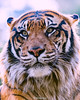 Khunde ♂ - Panthera Tigris Sumatrae (Belteshazzar (AKA Harimau Kayu)) Tags: khunde tiger zoo cat asian asiancat bigcats sumatran pantheratigrissumatrae animal sumatratiger tigredesumatra суматранскийтигр tygrsumaterský tygryssumatrzański sumatraansetijger szumátraitigris uenozoologicalgardens tigre тигр tygr tijger tigris fuengirola spain ueno 수마트라호랑이 苏门答腊虎 虎 tokyo toodarnhot hổsumatra sumatrakaplanı เสือโคร่งสุมาตรา सुमात्रनवाघ სუმატრისვეფხვი טיגריססומטרה harimausumatera ببرسوماترایی predetor beast carnivorous flesheating tiikeri sumatrantiikeri the spaniard wonderful rembrandt rembrandtlighting the4thofjuly independenceday bathing swimming nobeastsofiercebut flehmen flehmenresponse king kingoftheenclosure feline mouser grimalkin mammal fierce predatory predator fierceanimal japan bathingtiger flickrbigcats higashiyamazoologicalgardens yagiyamazoologicalgardens sendai