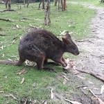 Känguru im Moonlit Sanctuary