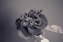 black rose (odryles) Tags: flower closeuprose
