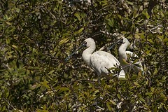 Royal Spoonbills (Geoffsnaps) Tags: bird water river ed bill nikon stream kayak d 4 royal 300mm if mirage outback nikkor fx f4 afs spon sandon f4d d700 feaathers royalspoonbills nikond700 sandonriver nikonnikkor300mmf4difedafs mirageoutbackkayak