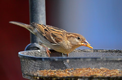 Sparrow (Lee1885) Tags: nature birds garden nikon birdfeeder sparrow worms