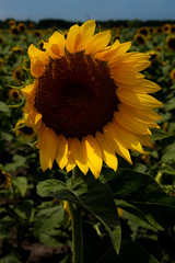 Sunny Vertical (TPorter2006) Tags: brown flower field yellow golden texas july sunflower hillsboro 2015 aquilla tporter2006