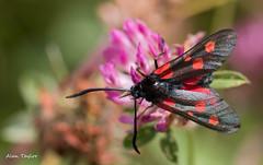 Burnett (Alan-Taylor) Tags: canon moth 100mm burnett 70d sigma1770 bigbutterflycount appicoftheweek