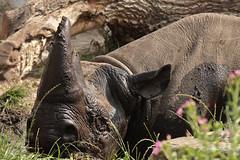 Zwarte Neushoorn (K.Verhulst) Tags: rotterdam blijdorp rhino nl blackrhino blijdorpzoo neushoorn diergaardeblijdorp rotterdamzoo zwarteneushoorn