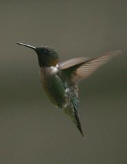 rubythroated-hummingbird119 (egdc211) Tags: bird nature canon ornithology birdwatcher rubythroatedhummingbird backyardbirding naturewatcher connecticutbird newenglandbird