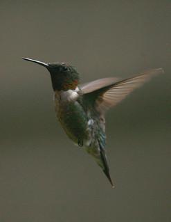 rubythroated-hummingbird119