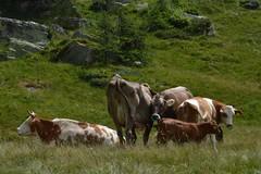 Ritratto di famiglia (Irene Grassi (sun sand & sea)) Tags: italy nature animals italia cows natura piemonte animali sandomenico mucche veglia pascolo alpeveglia parconaturalevegliadevero varzo valcairasca