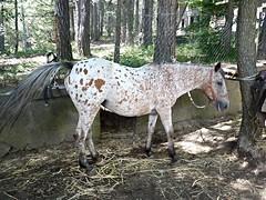 Un cavallo americano Appaloosa sull'Etna (Luigi Strano) Tags: horses cavalli