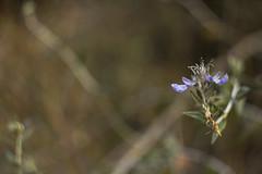 Teucrium (louisa_catlover) Tags: winter plant flower nature canon garden eos dof purple bokeh outdoor australia august bluemountains depthoffield nsw m42 f2 manual russian 58mm helios mtwilson lamiaceae teucrium mountwilson 2015 vintagelens helios442 60d