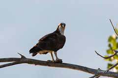 Young Osprey enjoy the morning sun