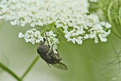 Tabanus sp. (M) (alain.maire) Tags: canada nature quebec horsefly insecte diptera tabanidae taon tabanus insest diptère tabanuscatenatus