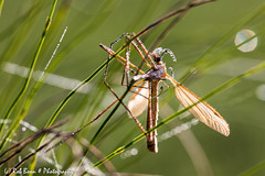 20160927_7117_Insect (Rob_Boon) Tags: insect macro mechelen waterdruppel robboon