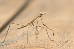 Praying Mantis 2 (cheekeemonkeez) Tags: pray praying mantis insect wildlife nature sony a58
