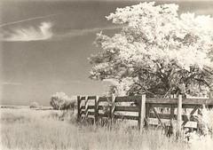 435 - Looking West - Infrared Lith Print (Brad Renken) Tags: blackandwhite agfa portriga rapid prk 111 lith lithprint nebraska nebr neb ne bertrand phelps canon ae1 program d76 11 fence infrared rollei400 35mm film sky pasture arista