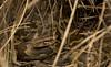 Indian Rock Python - post meal (siddarth.machado) Tags: indian rock python snakes snakesofindia india karnataka bandipur tigerreserve wildlife nt iucn nearthreatened pythonmolurus reptiles serpentes