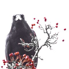 What you looking at? (Gidzy) Tags: square exposed over evil bird black wildlife nature bloodred fromabove staringdown odin carrion scary eerie redberries berries crow