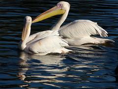 Great white pelicans - Roze pelikanen in Avifauna (joeke pieters) Tags: 1300788 panasonicdmcfz150 rozepelikaan pelicanusonocrotalus greatwhitepelican vogel avifauna easternwhitepelican rosypelican bird reflections ngc npc platinumheartaward