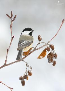 Mésange a tête noire - black-capped chickadee - Poecile atricapillus