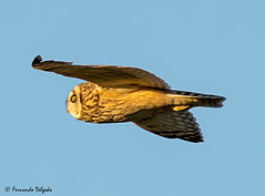 Coruja do Nabal (Asio flammeus) (Fernando Delgado) Tags: owl shortearedowl asioflammeus corujadonabal coruja aves avesemvoo birds birdsinflight invernante janeiro
