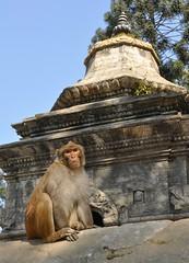 monkey outside Pashupatinath, Kathmandu (davidparratt) Tags: monkey kathmandu pashupatinath nepal