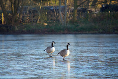 On thin ice (cuppyuppycake) Tags: canadian geese good frozen lake january winter cold freezing wanstead park london e11