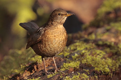 BLACKBIRD  /  TURDUS MERULA. (Tom Webzell) Tags: naturethroughthelens