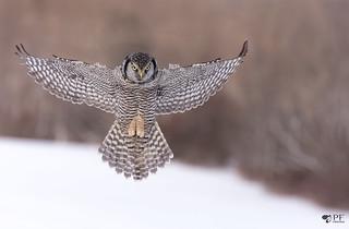 ''Angel!'' Chouette épervière/Northerm hawk owl